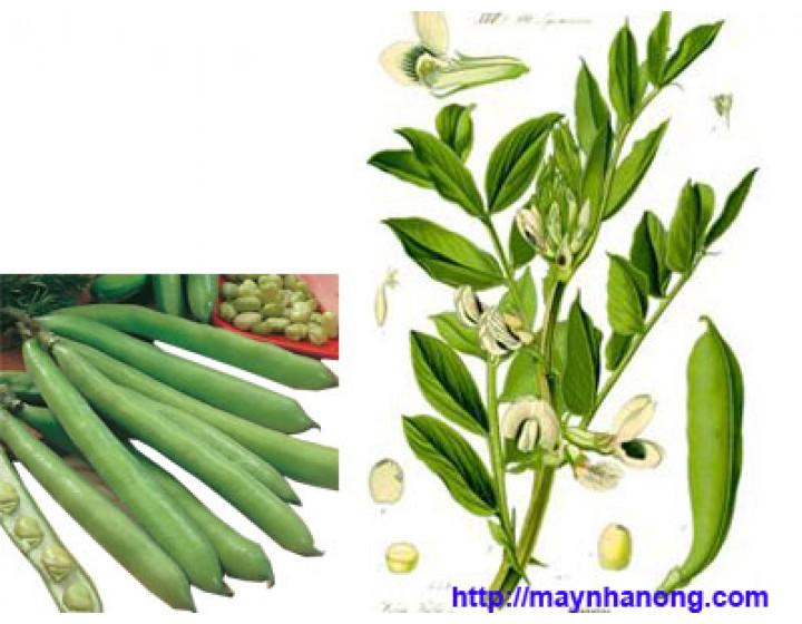 Kỹ thuật trồng cây Đậu tằm làm thức ăn