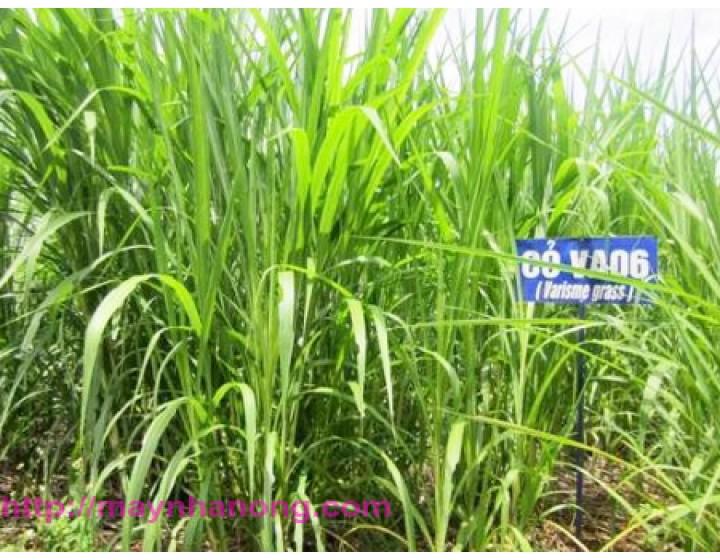 Kỹ thuật trồng cỏ VA06 làm thức ăn chăn nuôi trâu, bò