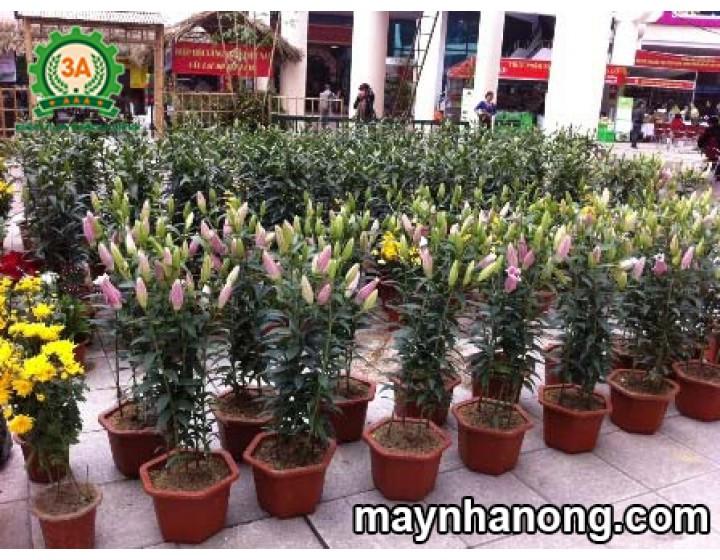 Kỹ thuật trồng hoa Ly trong chậu cho năng suất cao