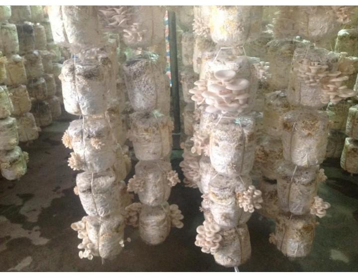 Kỹ thuật trồng nấm sò