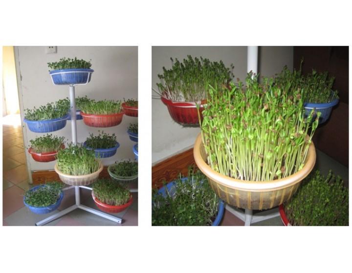 Kỹ thuật trồng rau mầm bằng giá thể
