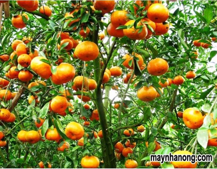 Kỹ thuật trồng cây cam