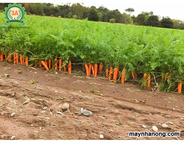 Kỹ thuật trồng cây cà rốt