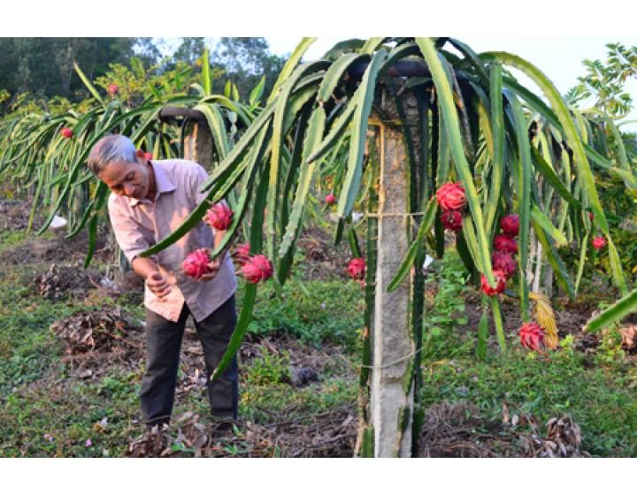 Kỹ thuật trồng và chăm sóc thanh long