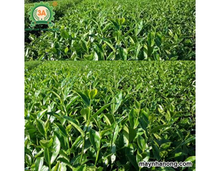 Kỹ thuật trồng chè xanh
