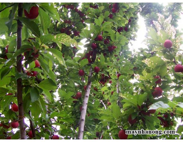 Kỹ thuật trồng cây mận