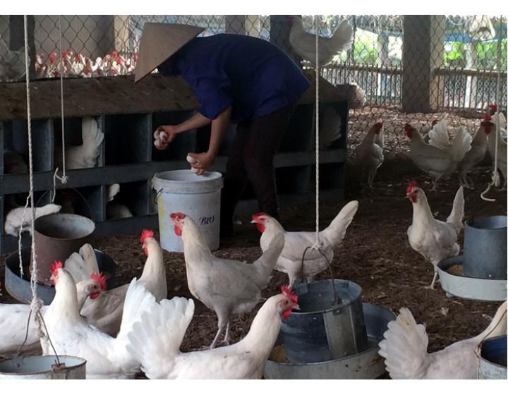 Nhặt trứng gà giúp cả làng mua ô tô bạc tỷ