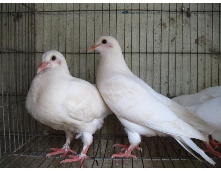 Kỹ thuật nuôi chim bồ câu đạt hiệu quả cao
