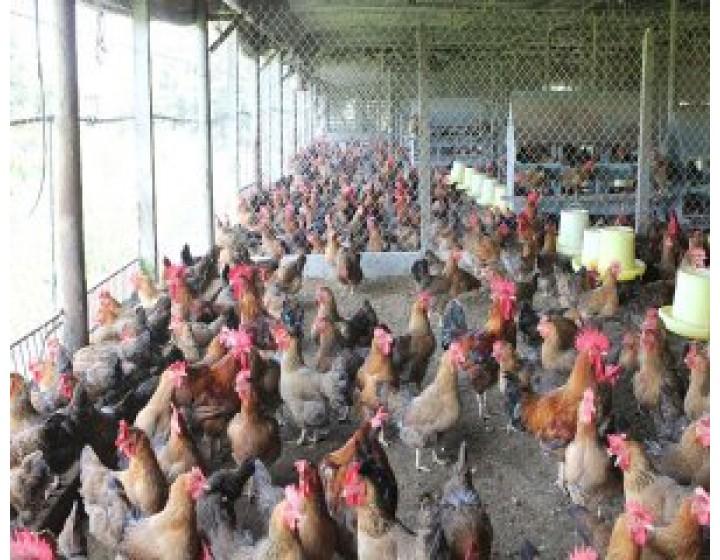 Tự sản xuất thức ăn chăn nuôi - cách làm giàu mới của nông dân