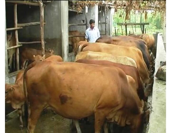 Kỹ thuật vỗ béo bò thịt