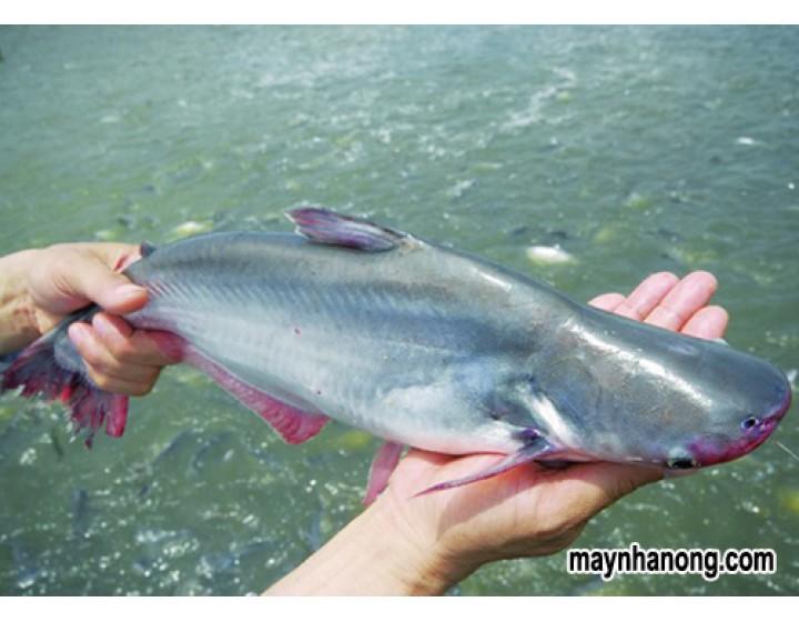 Cách nuôi cá tra mau lớn