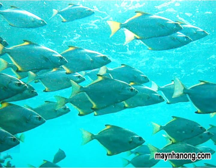 Kỹ thuật nuôi cá chim thu lãi suất cao