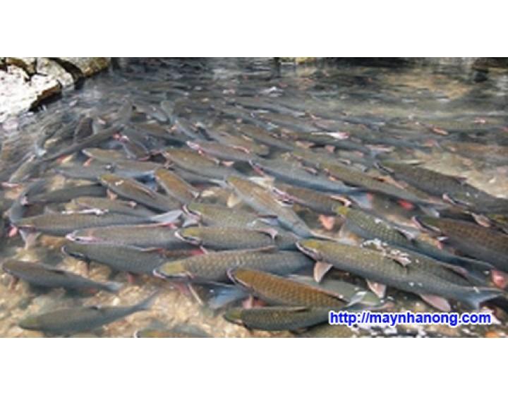 Cách chế biến thức ăn cho cá trắm cỏ