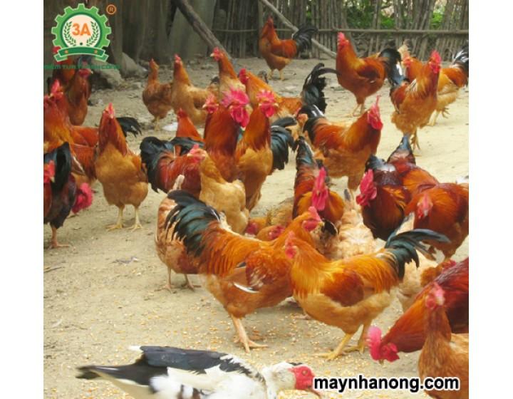 Các loại thức ăn cho gà thả vườn