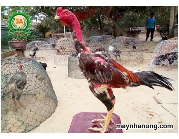 Kỹ thuật chăn nuôi gà chọi cho người mới chơi