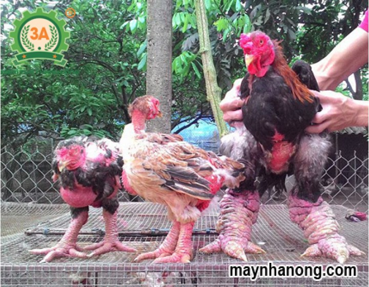 Mô hình nuôi gà Đông Tảo