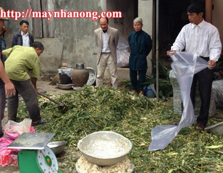 Ủ chua cây ngô làm thức ăn chăn nuôi gia súc