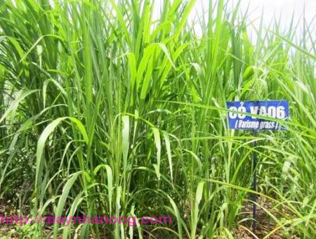 Kỹ thuật trồng cỏ VA06