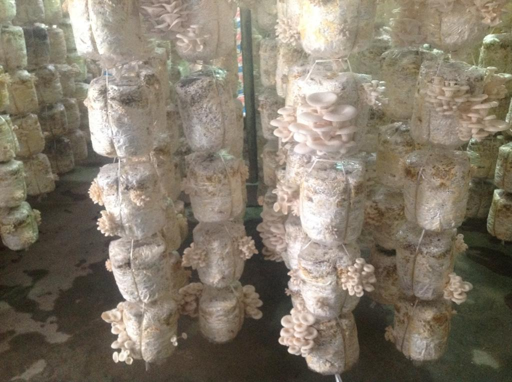 kỹ thuật trồng nấm ngư