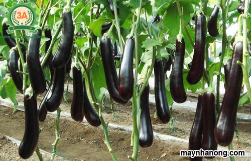 Kỹ thuật trồng chăm sóc cây cà tím