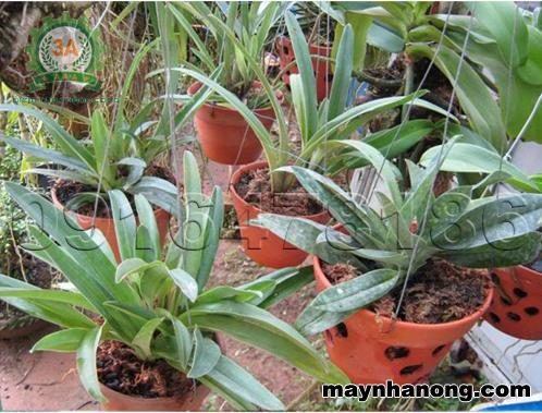 cách trồng lan bằng mụn xơ dừa