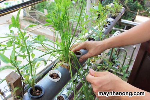 Cách trồng rau cải sạch tại nhà