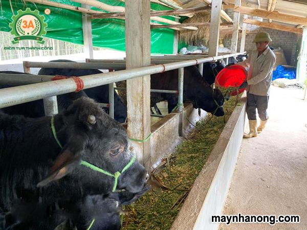 Kỹ thuật chăn nuôi bò 3B