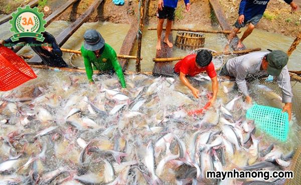 Kỹ thuật nuôi cá nước ngọt
