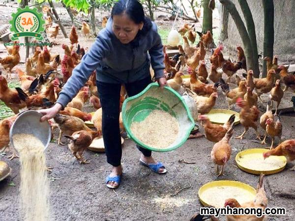 Cách ủ cám ngô cho gà bằng men ủ vi sinh