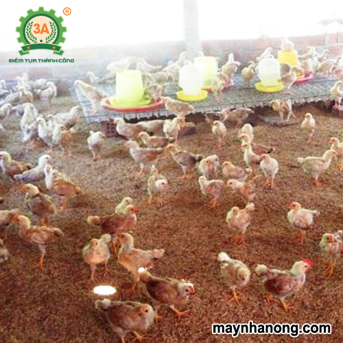 Những tác dụng của đệm lót sinh học trong chăn nuôi gà