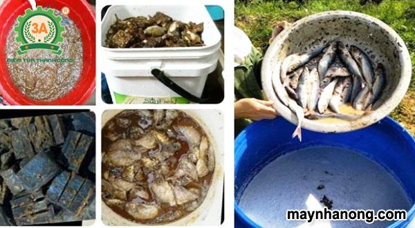 Cách ủ cá làm thức ăn chăn nuôi