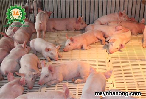 dinh dưỡng của lợn con