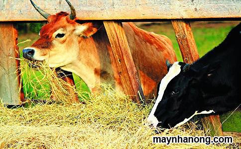 Cách bảo quản thức ăn cho gia súc trong mùa đông