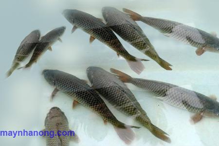 Kỹ thuật nuôi cá chép