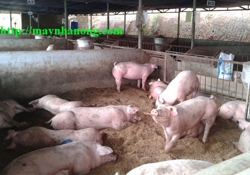 kiến thức chăn nuôi heo