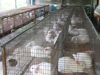 Kỹ thuật nuôi thỏ dành cho hộ gia đình