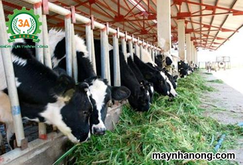 Cách chế biến thức ăn tinh bột cho gia súc