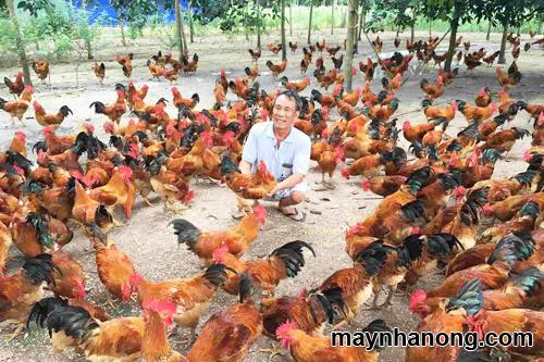 tiêu chuẩn thức ăn cho gà thịt