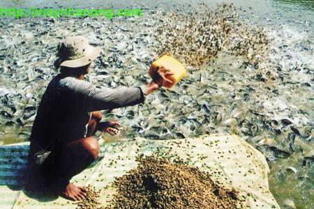 tự chế biến thức ăn cho cá